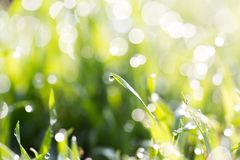 Dew on the grass in nature . In the park in nature Stock Photography