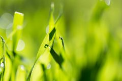 Dew on the grass in nature . In the park in nature Royalty Free Stock Photos