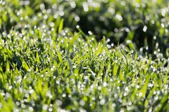 Dew on the grass in nature. In the park in nature Royalty Free Stock Image
