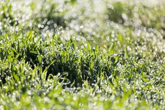 Dew on the grass in nature. In the park in nature Stock Photo