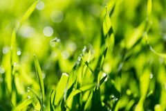 Dew on the grass in nature. In the park in nature Royalty Free Stock Images