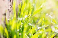 Dew on the grass in nature. In the park in nature Royalty Free Stock Photo