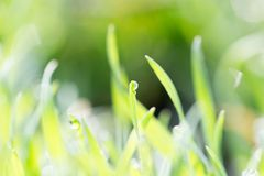 Dew on the grass in nature. In the park in nature Royalty Free Stock Photography
