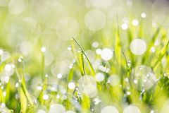 Dew on the grass in nature . In the park in nature Royalty Free Stock Photo