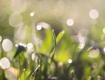 Dew on the grass. In the park in nature Royalty Free Stock Photography