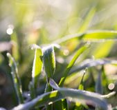 Dew on the grass. In the park in nature Stock Photo