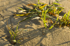 Dew on the grass. Dew on grass on sand. A small depth of field Royalty Free Stock Photography