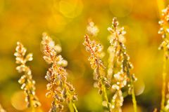 Dew on grass. Sparkling dew on grass with bokeh on background Royalty Free Stock Photo