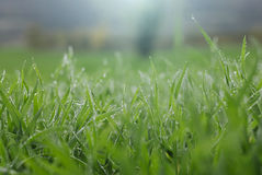 Dew on grass on a sunny Spring morning Royalty Free Stock Image