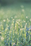 Dew on grass on a sunny Spring morning. With the sun shining in the background.Toned image.Shallow depth of field Royalty Free Stock Photos