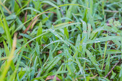 Dew on grass. Water dew on grass Royalty Free Stock Photography