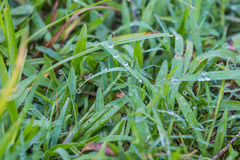 Dew on grass. Water dew on grass Royalty Free Stock Photo