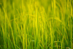Dew on grass. Dew on the grass, which affects the light in the morning Royalty Free Stock Photos