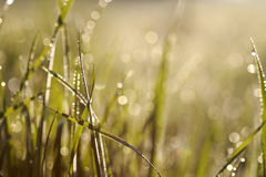 Dew in grasses Royalty Free Stock Image