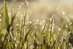 Dew in grasses Royalty Free Stock Images