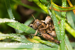 Dew grasshoppers Stock Image