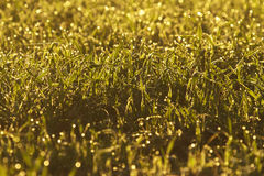 Dew on a green field Stock Photo