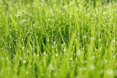 Dew on green grass. Droplets of dew on green grass Royalty Free Stock Images