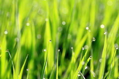 Dew on green grass Stock Photos