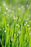 Dew on green grass Royalty Free Stock Photos