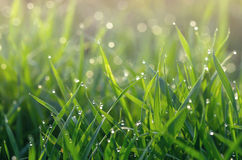 Dew on green grass Stock Photo