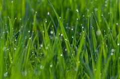 Dew on green grass Royalty Free Stock Photography