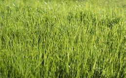 Dew on a green grass. Dew drops on a green grass Stock Photos