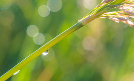 Dew on green grass. Drops of dew on a green grass Royalty Free Stock Photo
