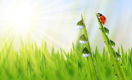 Dew on green grass and ladybird Stock Photography