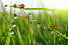 Dew on green grass and ladybirds Royalty Free Stock Image