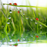Dew on green grass and ladybirds Royalty Free Stock Photography