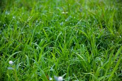Dew on green grass. In the morning time Stock Photos