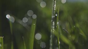 Dew on the green grass and sunbeams. free space for insertion. Selective focus
