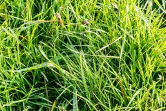 Dew on Green Grass. In the Sunlight Royalty Free Stock Photos