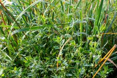 Dew on Green Grass. In the Sunlight Stock Images