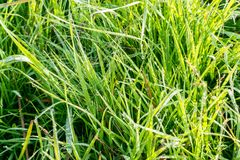 Dew on Green Grass. In the Sunlight Stock Photo