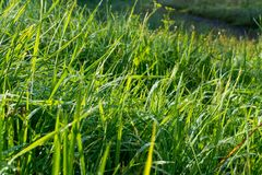 Dew on Green Grass. In the Sunlight Royalty Free Stock Photo