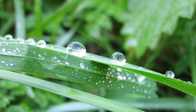 Dew on green grass Royalty Free Stock Photo