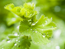 Dew on green leaves royalty free stock image