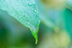 Dew on the green leaves. The dew on the green leaves in the morning Stock Photos