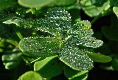 The dew on the green plant clover, drops on the plant Stock Photo