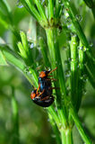 Dew, Horsetail and bugs. A mating pair of dew covered bugs on a blade of Horsetail stem Stock Images