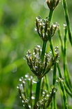 Dew and Horsetail 1 Stock Photo