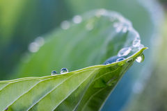 Dew on Hosta. A beautiful use of shallow depth of field: the leaf and 2 drops are in focus in the lower left third of the image; the other dew drops on the rim Stock Photography