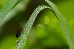 Dew on an insect on a strand of grass Stock Images