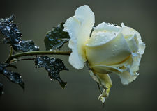 Dew Kissed. Cream rose with dewdrops or raindrops glistening in the morning-light Stock Photos