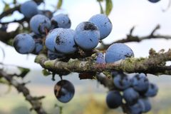 Dew kissed sloes. Autumnal sloes waiting for the first frost Stock Photo