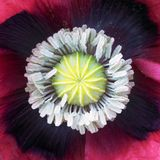 Dew-laden opium Poppy stamens Stock Images