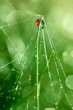 Dew and ladybird Royalty Free Stock Photos