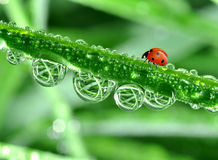 Dew and ladybird. Fresh morning dew and ladybird Royalty Free Stock Photos